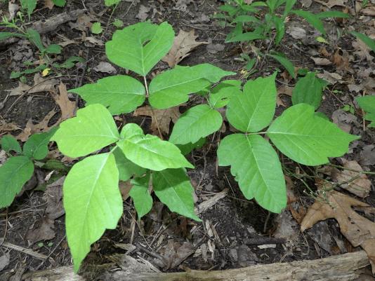 0817 Poison Ivy