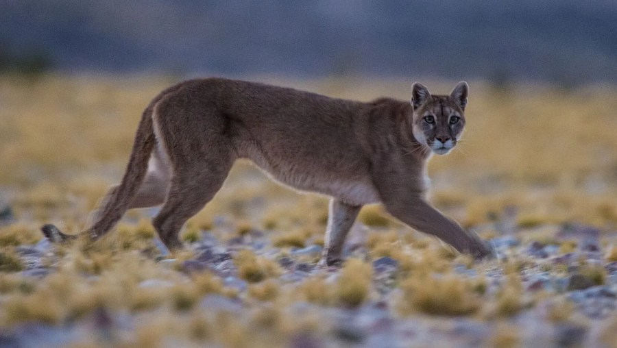 Large predators such as mountain lions are being found in places they haven't been seen before.