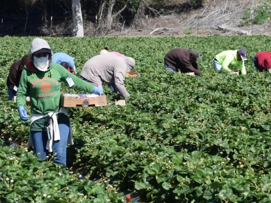 Workers harvest crops in a California field. Latinos make up a large percentage of the country's agricultural workers, a population that may be particularly at risk for the coronavirus since workers work in tight quarters and few have adequate personal protective equipment.