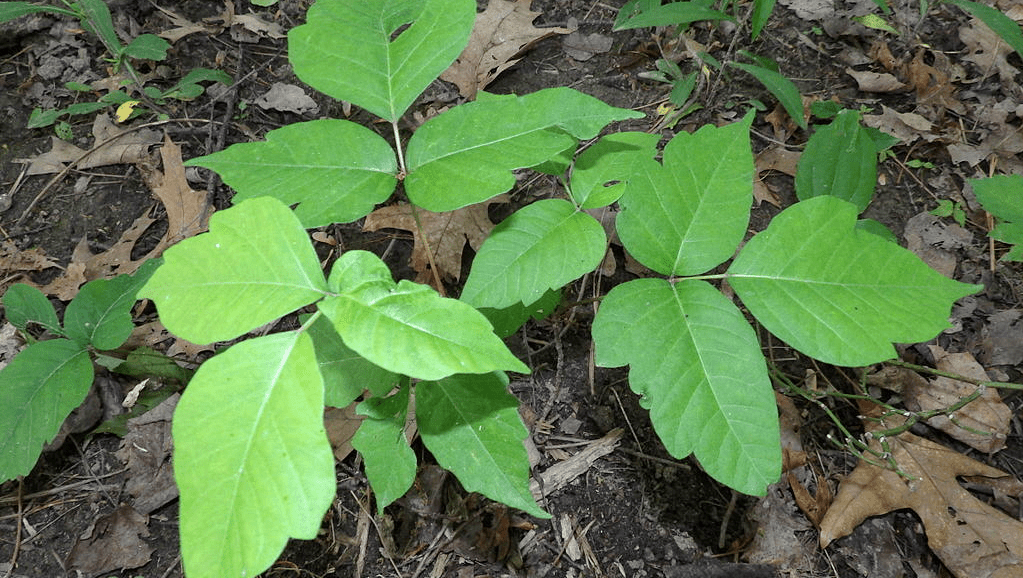 Poison Ivy How To Recognize It How To Get Rid Of It