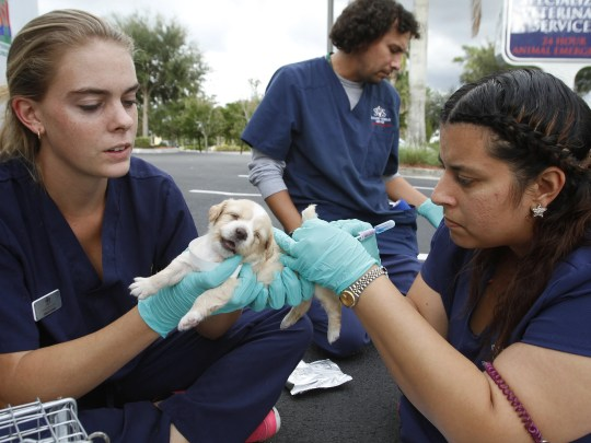 Specialized Veterinary Services technicians Megan Dickens, Eric Massaro and Susan Huergo administer parvovirus tests on a rescued puppy in Fort Myers.