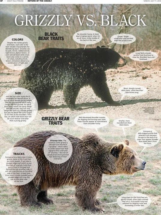 Grizzly Or Black Bear Size And Color Wont Help You Decide