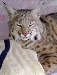 Rocky the bobcat hybrid