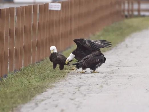Image result for e9 eaglet