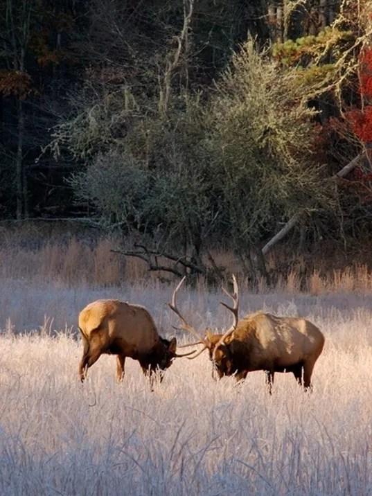 elk in Rut, dueling 300dpi