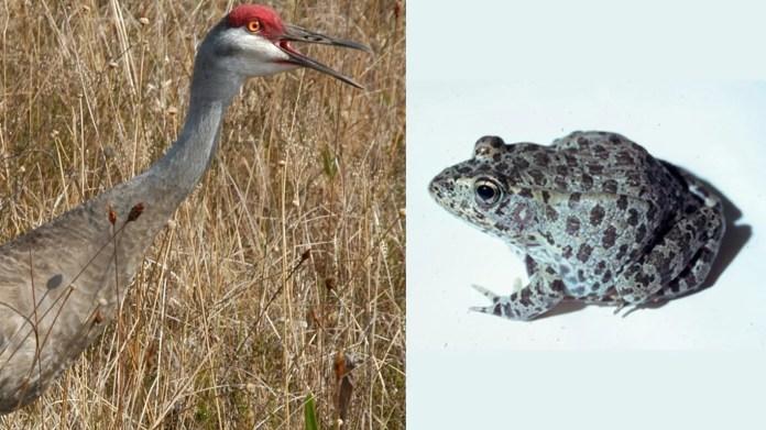 24. Mississippi • Selected endangered species: Mississippi Sandhill Crane (grus canadensis pulla), Dusky Gopher Frog (rana sevosa)