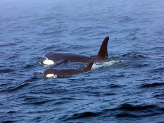 Ap Sick Gefährdete Orca A Can Bc