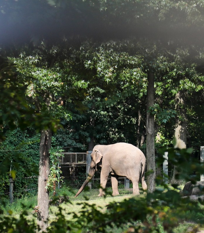 "Bronx Zoo elephant ""Happy"" strolls in a habitat inside the zoo's Asia display, Tuesday Oct. 2, 2018, in New York."