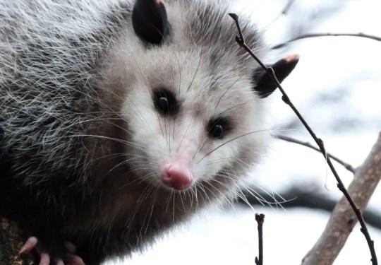 An opossum gazes from a tree at photographer Kara Jones on Jan. 23, 2012