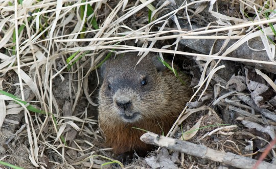 Muskrats eat plants and vegetation mostly.