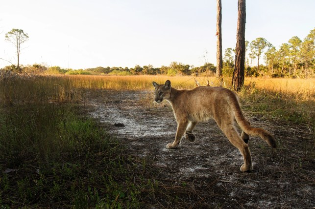 Scientists think toxic algae may be to blame for Florida's stumbling panthers, bobcats
