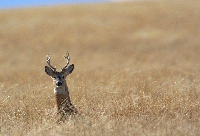 Deer infected with tuberculosis can pass disease to hunters, CDC warns
