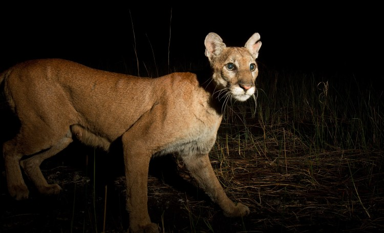 Feds plan to open more of the Florida Panther National Wildlife Refuge to the public