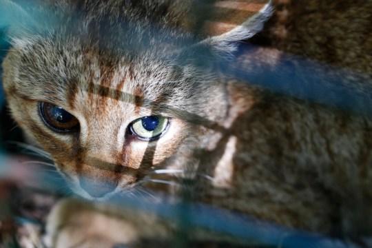 Die Fuchs-Katze, bekannt als