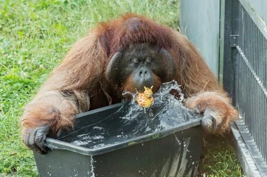 Un orangután juega con agua en el zoológico Schoenbrunn en Viena, Austria, el martes 25 de junio de 2019. Europa se enfrenta a una ola de calor, con temperaturas de hasta 40 grados centígrados.