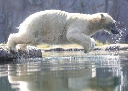 El oso polar Nanook se lanza al agua en el zoológico de Gelsenkirchen, Alemania, el 25 de junio de 2019. Alemania se enfrenta a una ola de calor con temperaturas de hasta 40 grados centígrados.