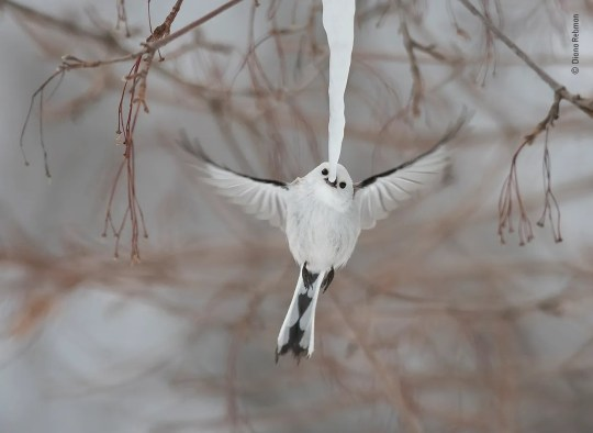 On a bitterly cold morning on the Japanese island of Hokkaido, Diana came across a delightful scene. A flock of long-tailed tits and marsh tits were gathered around a long icicle hanging from a branch, taking turns to nibble the tip. Here, a Hokkaido long-tailed tit hovers for a split second to take its turn to nip off a beakful. If the sun came out and a drop of water formed, the tit next 'in line' would sip rather than nip. The rotation of activity was so fast-moving that it almost seemed choreographed. Two days later, Diana returned and found that, with temperatures still at -20°C (-4°F), the icicle remained and tits were still drinking from it. But when the sun came out and the ice began to melt, one long‑tailed tit chose to cling to the icicle instead of hovering. That instantly brought the performance to an end, as the icicle cracked and then crashed to the ground.