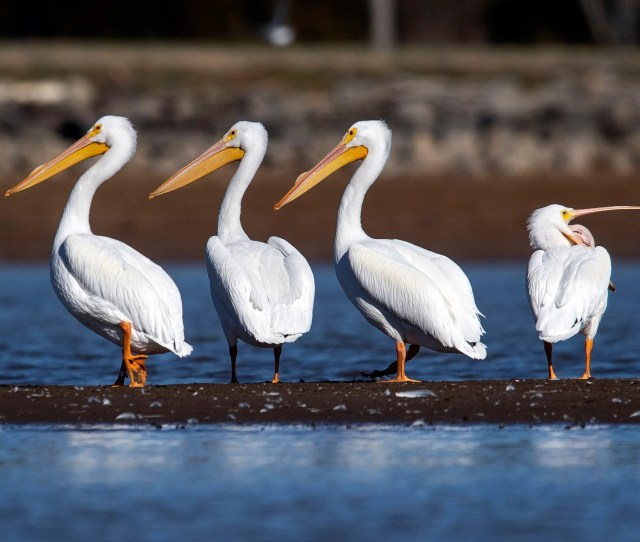 White Pelicans In East Tennessee