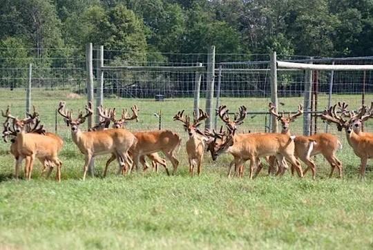 In a first, researchers find CWD prions in deer semen