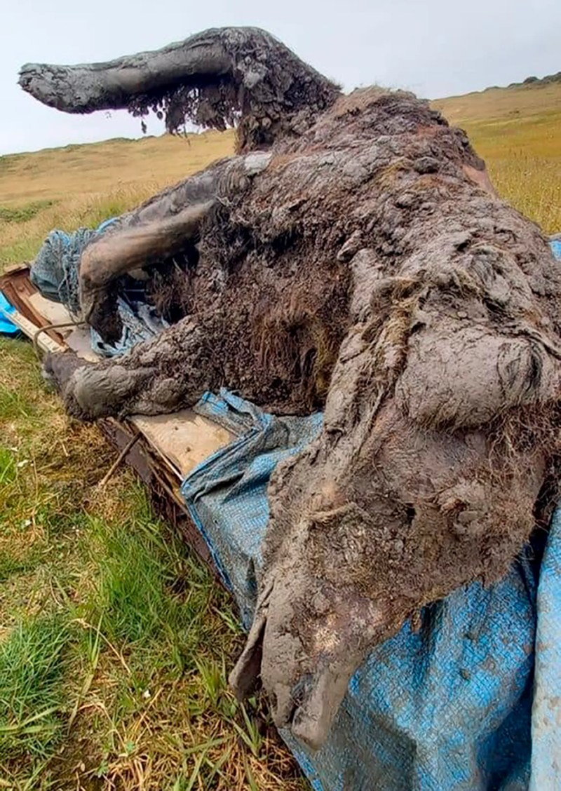 Sur cette photo non datée publiée par l'Université fédérale du Nord-Est, une carcasse d'ours des cavernes de la période glaciaire trouvée sur l'île Bolshoy Lyakhovsky, ou Great Lyakhovsky, la plus grande des îles Lyakhovsky appartenant à l'archipel des îles de la Nouvelle-Sibérie entre la mer de Laptev et l'est Mer de Sibérie dans le nord de la Russie.  Les éleveurs de rennes dans un archipel arctique russe ont trouvé une carcasse d'un ours des cavernes de la période glaciaire parfaitement préservée, révélée par la fonte du pergélisol, qui a tous ses organes internes, ses dents et même son nez intacts.