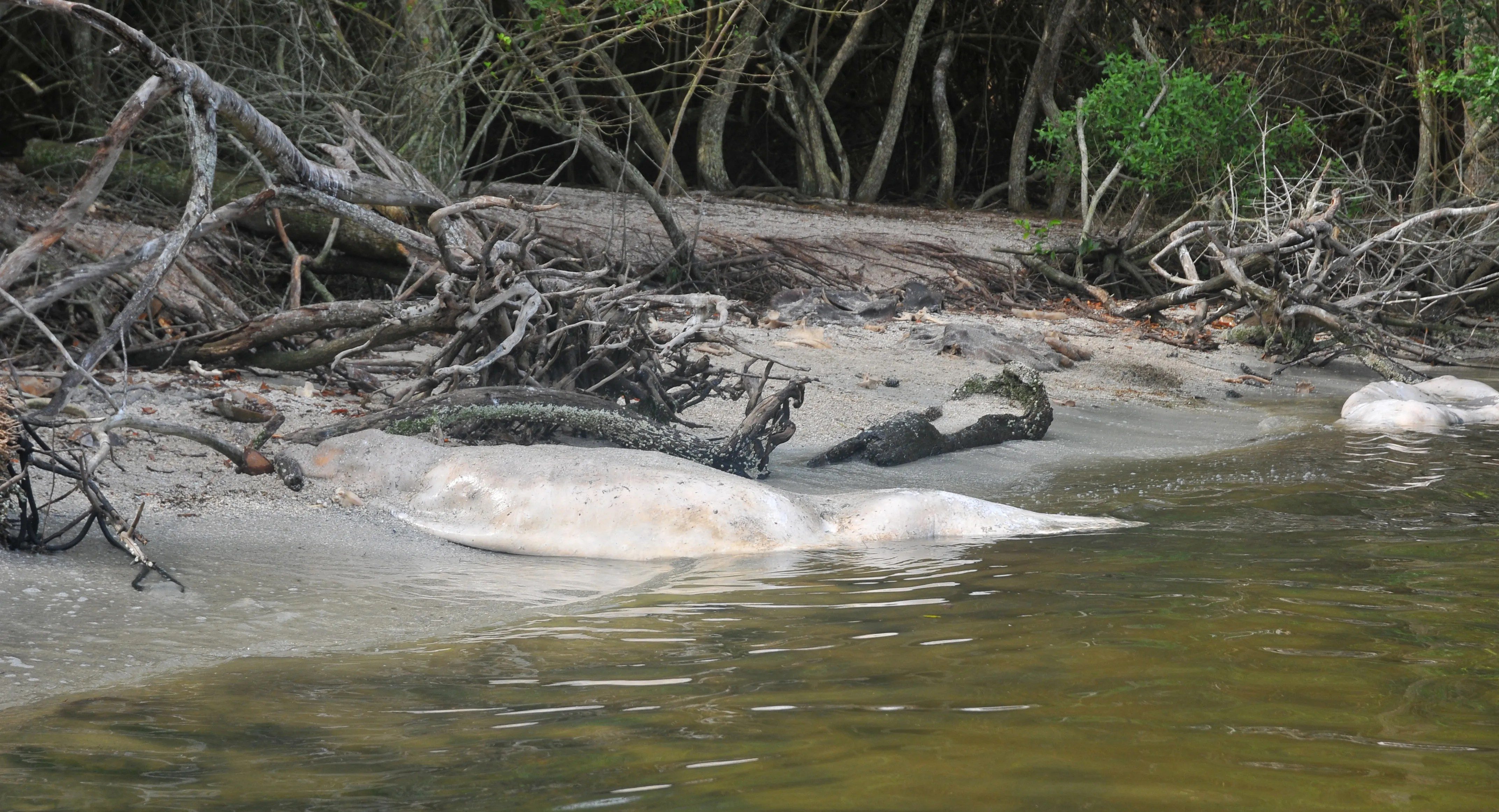 Manatee bones scattered along the shore of the Indian River. Wildlife officials have dragged more than 30 dead manatees to an area just north of Manatee Cove in the Indian River. The manatees have a low body weight and officials believe they have died from a lack of sea grass.