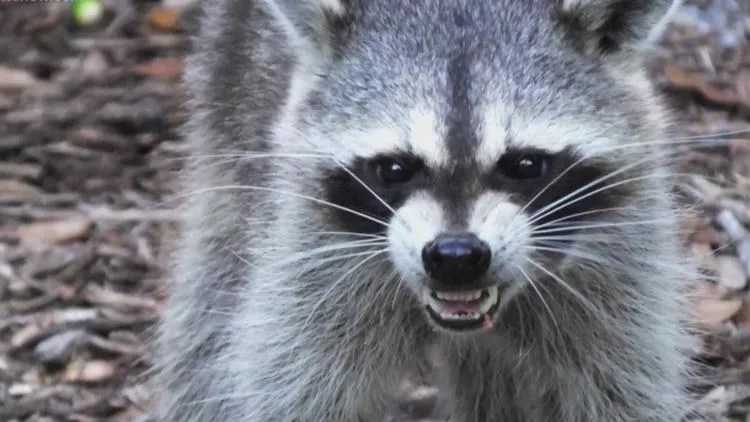 Discharge from eyes or mouth, wet and matted hair on face, repeated high-pitch vocalization and erratic wandering are traits of rabies.