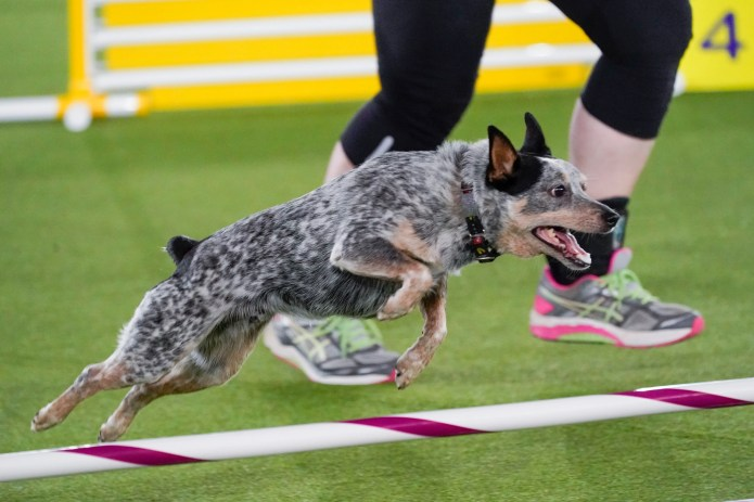 Plop in action during the agility competition on Friday.