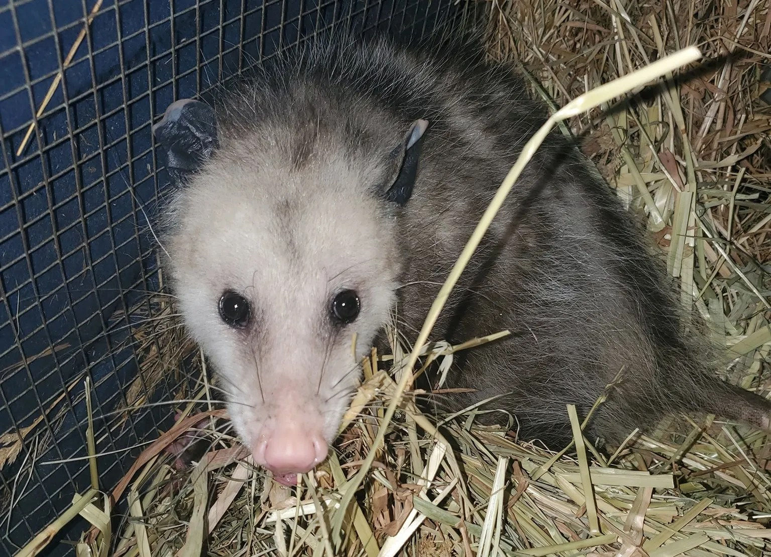 An opossum is one of many animals now being cared for by David and Cheryl Cox, of Maine. The couple run We Are Their Voice Wildlife Care and Rescue LLC.