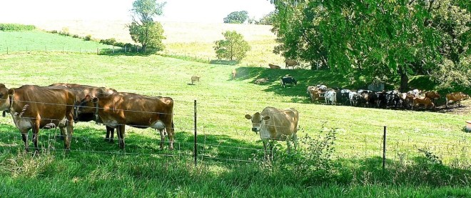 The dairy herd is on pasture during the summer.