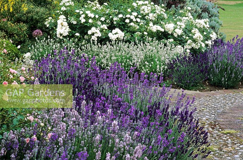 GAP Gardens Mixed Lavandula Lavender Border At Kettle
