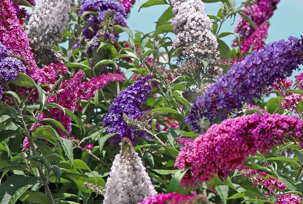 Plant Of the Week: Buddleia (bud-lee-a)