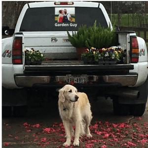 Golden Retreiver in Azalea Flowers with Truck