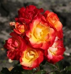 FIREBIRD (floribunda)