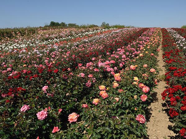 Field Grown Roses