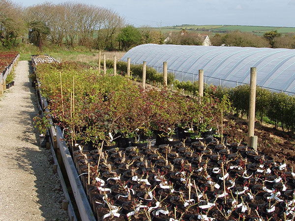 Visit Cornish Rose Nursery