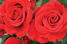 Roses for special occasions