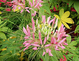 Cleome seeds can be planted this fall for next year's show.