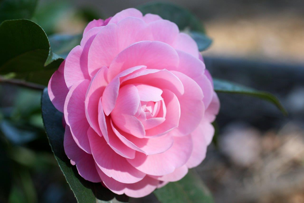 All You Need To Know About Growing Camellias SA Garden And Home