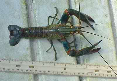 Giant Red Claw Crawfish