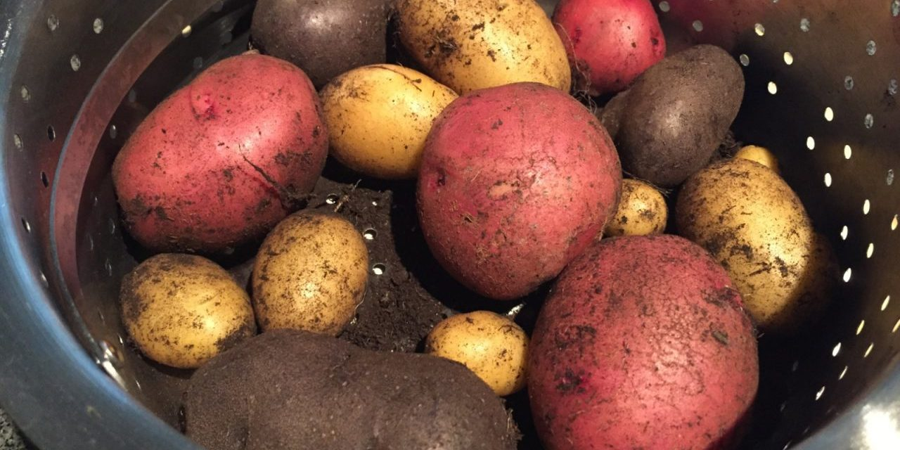 Growing Potatoes in Containers