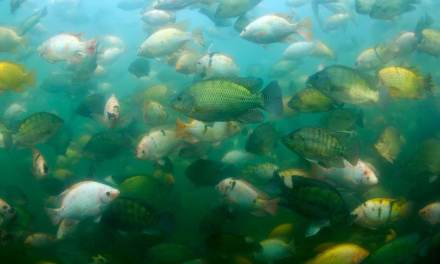 What's the Best Fish for Aquaponics?