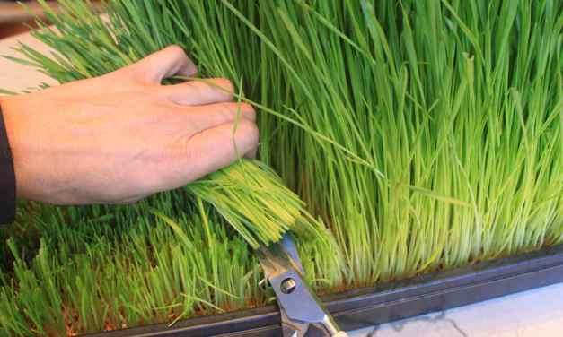 Growing Better Wheatgrass