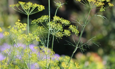 Growing Dill: A Powerful Herb