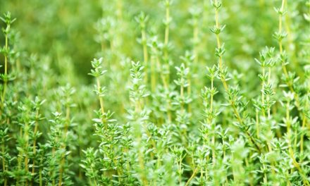 Growing Thyme Anywhere
