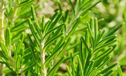 Grow Rosemary Indoors