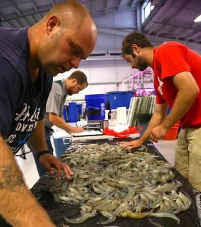 Indoor Shrimp Farming Harvest: KSU Aquaculture Dept.