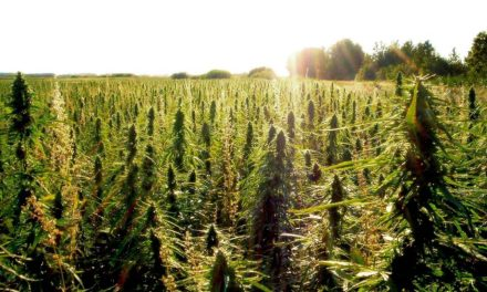 Industrial Hemp: An American Saga