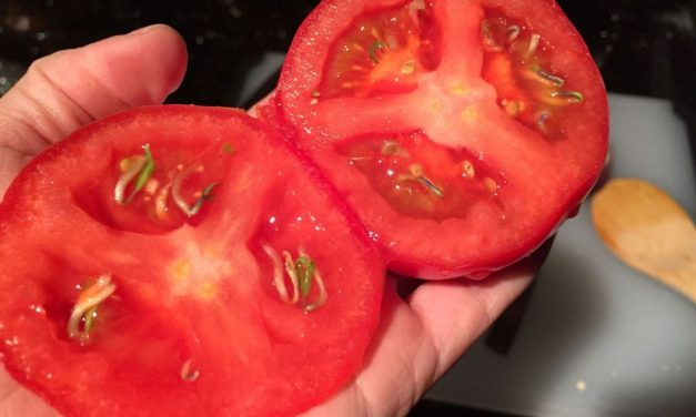 Freaky Fruits: Seeds Sprouting Inside Tomato