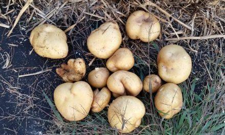 Straw Bale Garden Potatoes