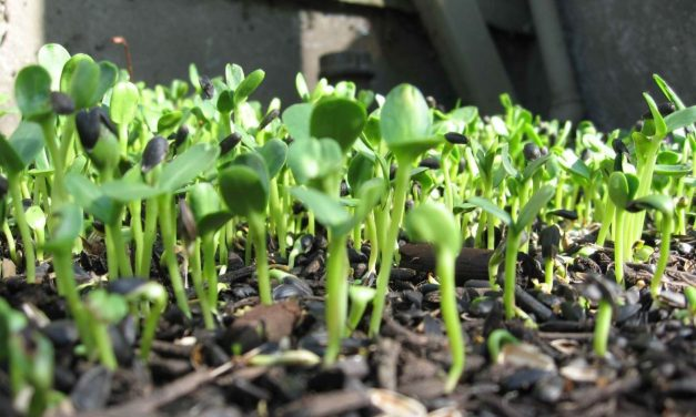 Grow Your Own Sunflower Greens